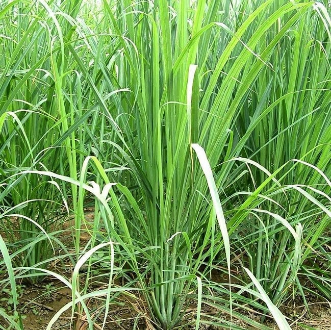 green lemongrass